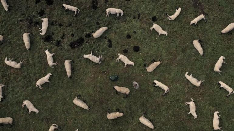 dark koyunlar